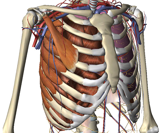 The chest wall showing the bony skeleton, cartilage, muscle attachments & blood supply