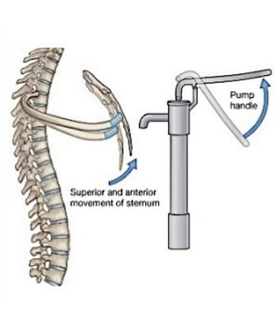 Pump-handle is a movement of the ribs that results in a change in the anteroposterior diameter of the thorax