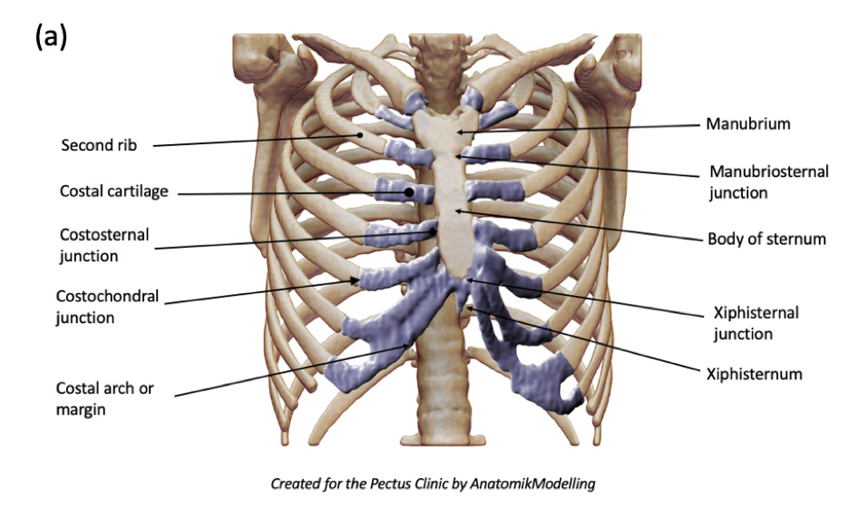Anterior and lateral chest wall structures